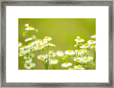 Philadelphia Fleabane Wildflowers In Soft Focus Framed Print