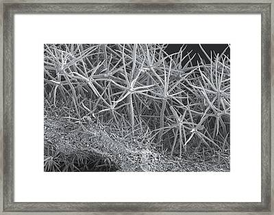Phlomis Leaf, Sem Framed Print by Science Photo Library