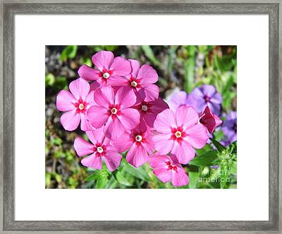Framed Print featuring the photograph Phlox Beside The Road by D Hackett