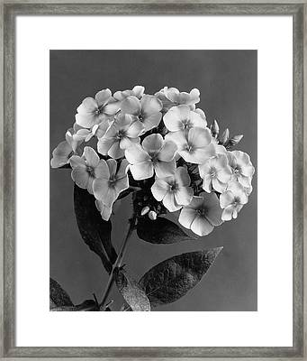 Phlox Blossoms Framed Print by J. Horace McFarland