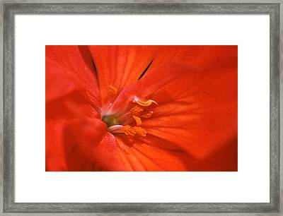 Phlox Flower Framed Print
