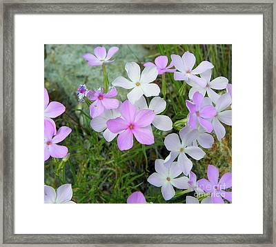 Phlox Framed Print by KD Johnson