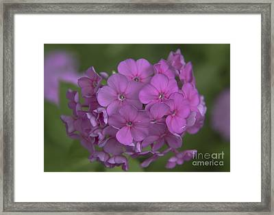 Phlox Nicky Framed Print