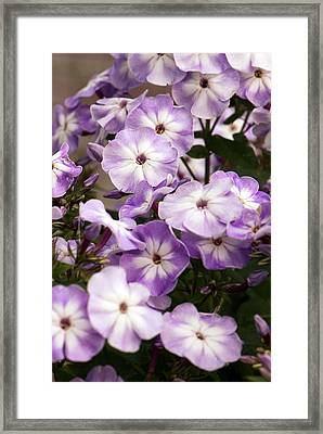 Phlox Paniculata 'grey Lady' Framed Print by Adrian Thomas