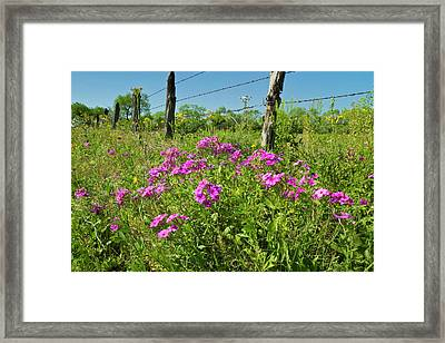 Phlox (phlox Sp Framed Print by Larry Ditto