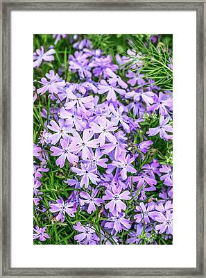 Phlox Subulata 'blue Eyes' Flowers Framed Print by Brian Gadsby