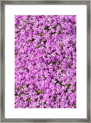 Phlox Subulata 'marjorie' Framed Print by Geoff Kidd
