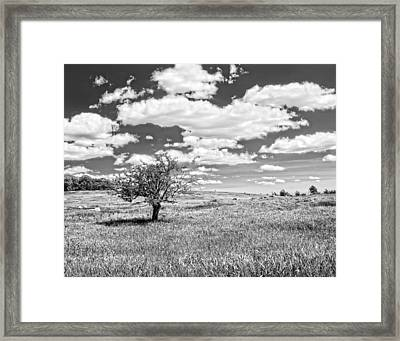 Photo Of Single Apple Tree In Maine Blueberry Field Framed Print by Keith Webber Jr