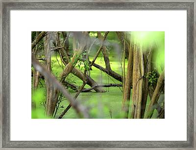 Green Water At Brazos Bend State Park In Texas Framed Print