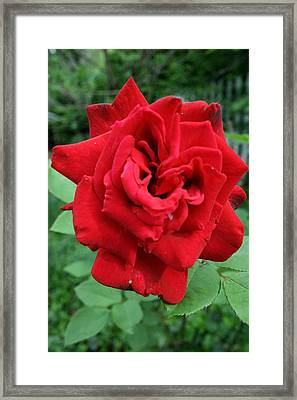 Photograph Reddest Of Roses Framed Print by Matthew Brzostoski