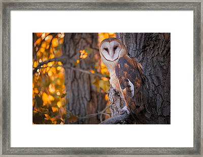 Photographing A Barn Owl On His Autumn Perch Framed Print by Mike Berenson