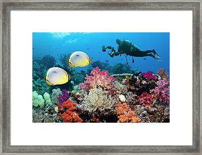 Photographing Butterflyfish On A Reef Framed Print by Georgette Douwma