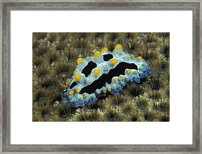 Phyllidia Nudibranch, Phyllidia Framed Print