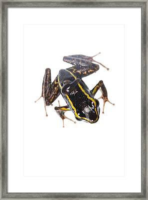Phyllobates Lugubris With A Tadpole Framed Print by JP Lawrence