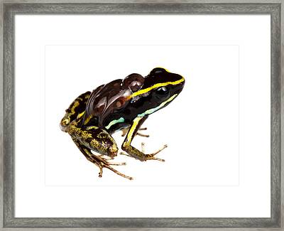 Phyllobates Lugubris With Tadpoles Framed Print by JP Lawrence