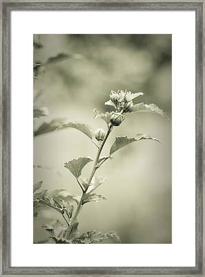 Physalis - Dreamers Garden Series Framed Print by Marco Oliveira