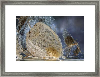 Physalis Skeleton Single Framed Print by Thomas Olbrich