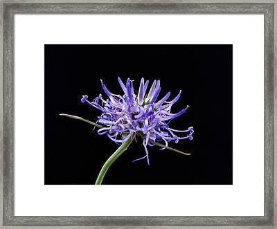 Phyteuma Balbisii Framed Print