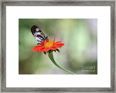 Piano Wings Butterfly Framed Print by Sabrina L Ryan
