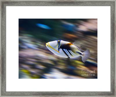 Picasso - Lagoon Triggerfish Rhinecanthus Aculeatus Framed Print by Jamie Pham