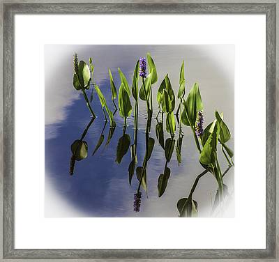 Pickerel Weed Vignetted In White Framed Print by Karen Stephenson