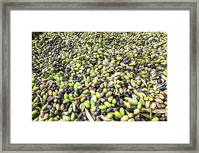 Picking Olives Framed Print by Photostock-israel