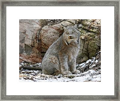 Picture Perfect Lynx In The Snow Framed Print by Inspired Nature Photography Fine Art Photography
