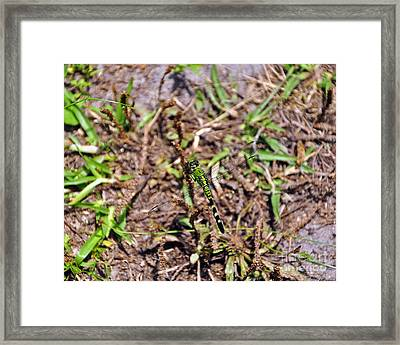 Picturesque Pondhawk Framed Print by Al Powell Photography USA