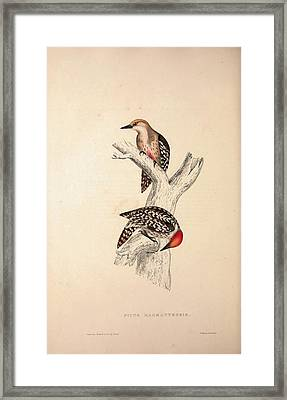 Picus Mahrattensis, Yellow-fronted Tied Woodpecker. Birds Framed Print by Quint Lox