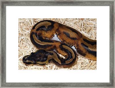 Piebald Royal Python Framed Print by Nigel Downer