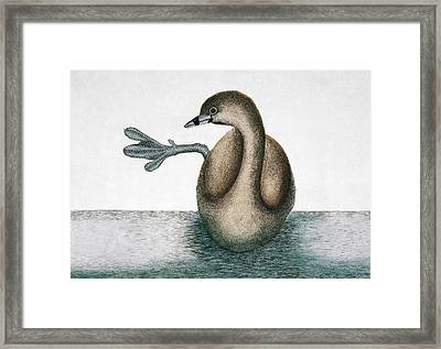 Pied-billed Grebe Framed Print by Natural History Museum, London
