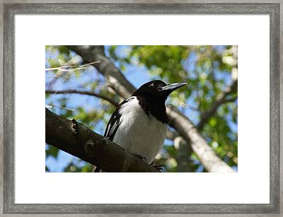Pied Butcher Bird Framed Print by Dani Katz