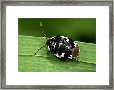 Pied Shield Bug Framed Print by Nigel Downer