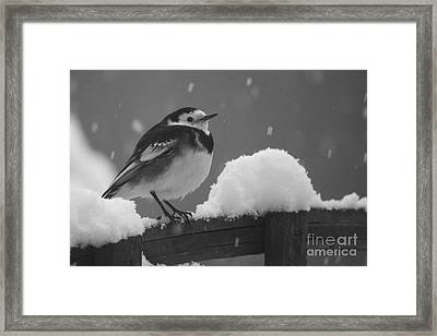 Pied Wagtail In The Snow Framed Print by Terri Waters