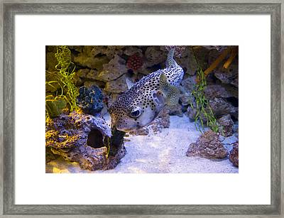 Puffer Fish Swimming Framed Print