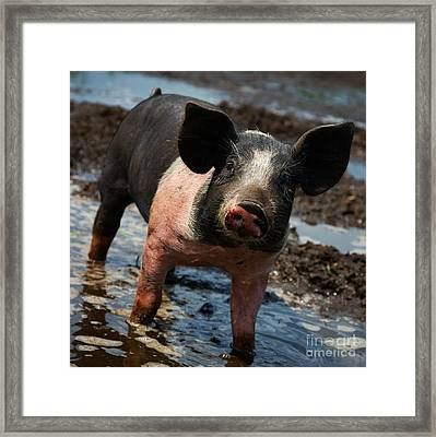 Pig In The Mud Framed Print