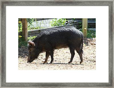 Pig - National Zoo - 01131 Framed Print by DC Photographer
