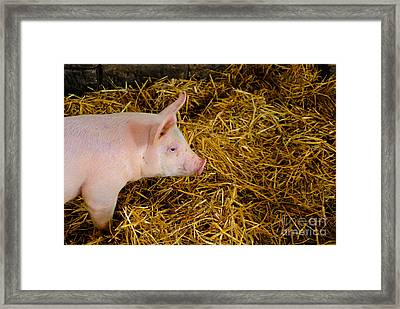 Pig Standing In Hay Framed Print by Amy Cicconi