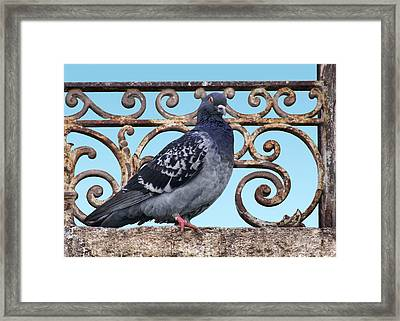 Pigeon And Grill Framed Print by Nikolyn McDonald