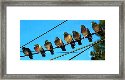 Pigeon Beauty Pageant  Framed Print by Hazel Holland