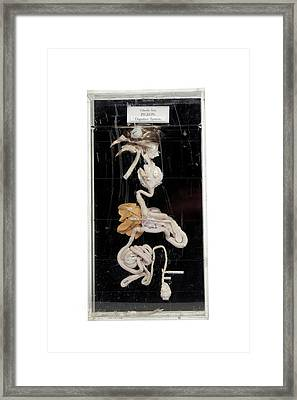 Pigeon Digestive System Framed Print by Gregory Davies