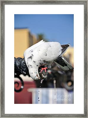 Pigeon Drinking Water At The City Of Rhodes Framed Print by George Atsametakis