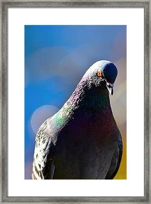Pigeon In Closeup Framed Print by Tommytechno Sweden