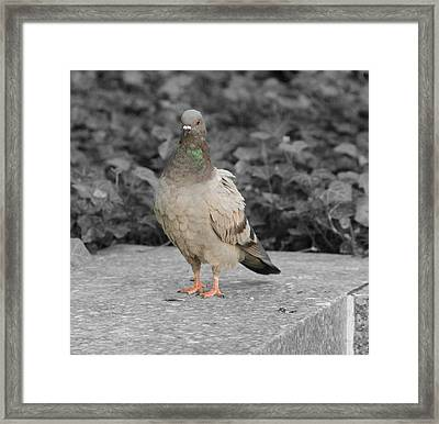 Pigeon In New York City Framed Print by Dan Sproul