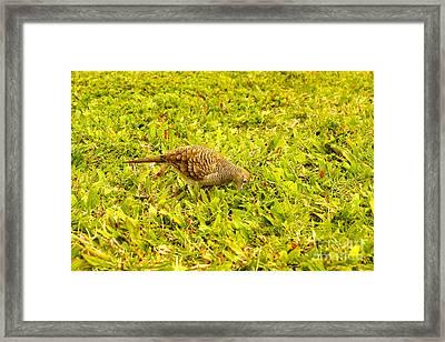 Pigeon Framed Print by Nur Roy