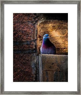 Pigeon Of The City Framed Print by Bob Orsillo