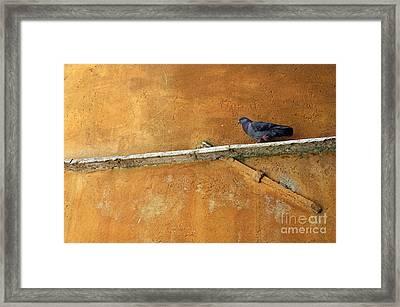 Pigeon On Ochre Wall Framed Print by Sami Sarkis