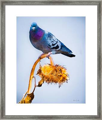 Pigeon On Sunflower Framed Print by Bob Orsillo