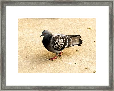 Pigeon Framed Print by Tibor Co
