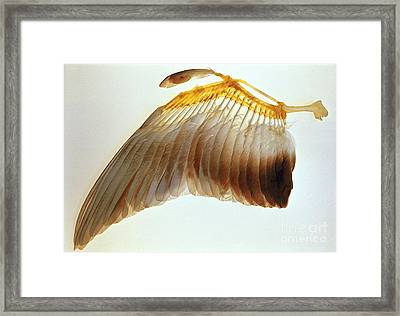 Pigeon Wing Framed Print by Biophoto Associates